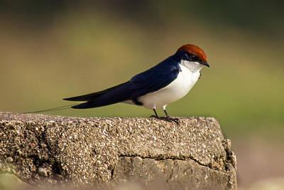 Wire Tailed Swallow Original by Vijay Sonar