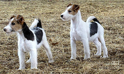 Wirehaired Fox Terrier  Print by Marvin Blaine