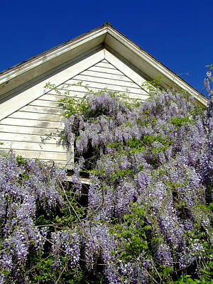Wisteria Cascading Print by Everett Bowers