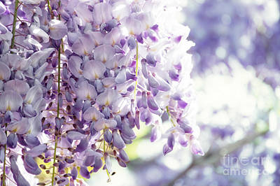 Wisteria Flower Clusters Print by Nishanth Gopinathan