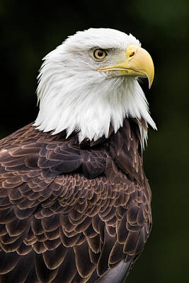 Eagle Photograph - With Dignity by Dale Kincaid
