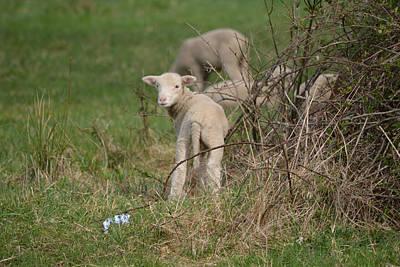 Sheep Mixed Media - Wittle Wamb by Trish Tritz