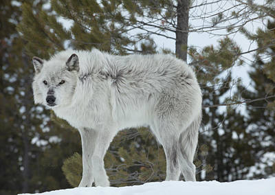 Wolf Photograph - Wolf - Nervous by Fran Riley