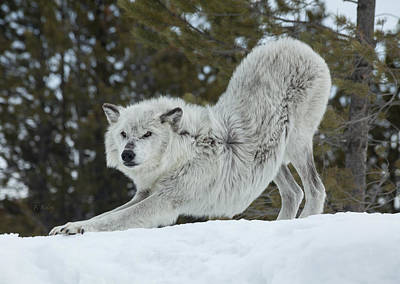 Wolf Photograph - Wolf - Yoga by Fran Riley