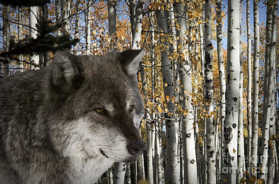 Wolves Photograph - Wolf-animals-image 7 by Wildlife Fine Art