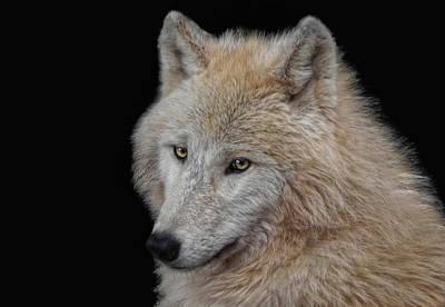Wolf Bride Print by Joachim G Pinkawa