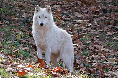 Arctic Wolf Photograph - Wolf In Autumn by Sandy Keeton