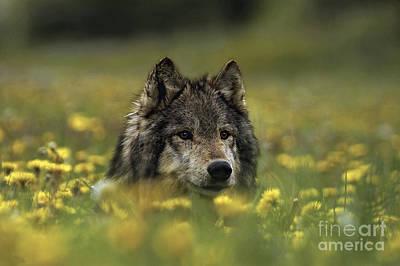 Wolf In Dandelions Print by Wildlife Fine Art