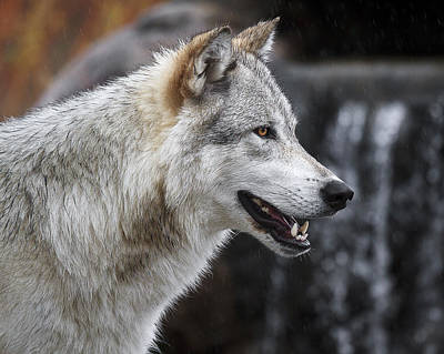 Wolf Smile D9933 Print by Wes and Dotty Weber