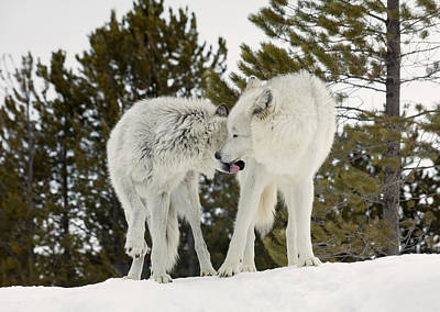 Daysray Photograph - Wolves - The Kiss by Fran Riley