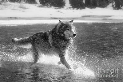 Wolf Photograph - Wolves-animals-image 8 by Wildlife Fine Art