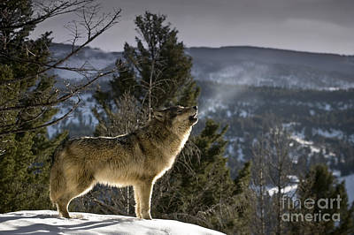 Wolves Nature Song Print by Wildlife Fine Art