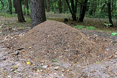 Ant Photograph - Wood Ant Nest by Bildagentur-online/mcphoto-schulz