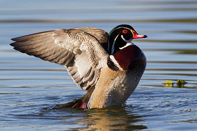 Aix Sponsa Photograph - Wood Duck Drake Drying Wings by Ken Archer