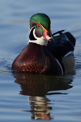 Aix Sponsa Photograph - Wood Duck Drake by Ken Archer
