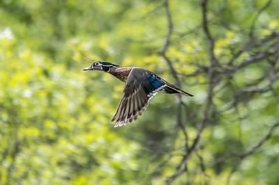 Ducks In Flight Photograph - Wood Duck In Flight by Loree Johnson