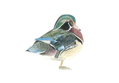 Drake Drawing - Wood Duck by Sara Stevenson