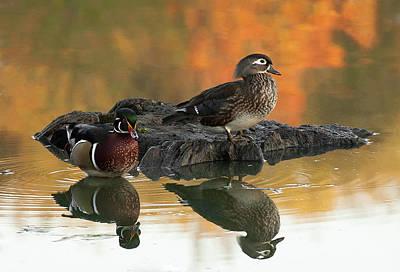 Wood Ducks Print by Dale Kincaid
