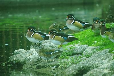 Wood Ducks Hanging Out Print by Jeff Swan