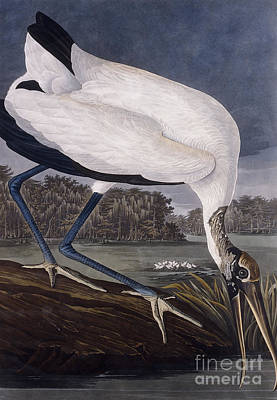 Edge Drawing - Wood Ibis by John James Audubon