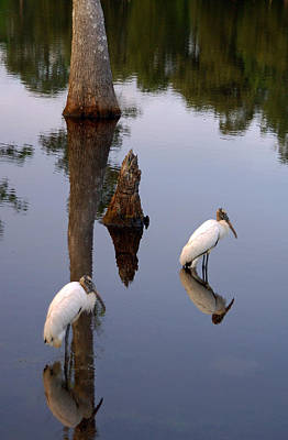 Wildlife Photograph - Wood Storks by Suzanne Gaff