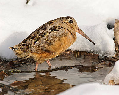 Woodcock Photograph - Woodcock In Winter by Timothy Flanigan