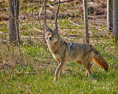 Woodland Coyote Print by Timothy Flanigan