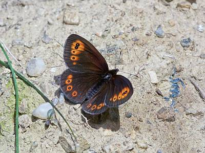 Romania Photograph - Woodland Ringlet Butterfly by Bob Gibbons