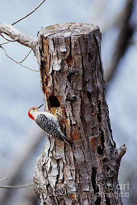 Starlings Photograph - Woodpecker And Starling Fight For Nest by Gregory G. Dimijian