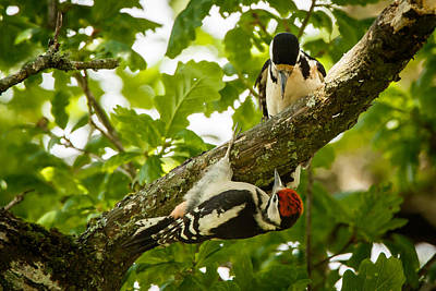 Izzy Photograph - Woodpecker Parenting by Izzy Standbridge