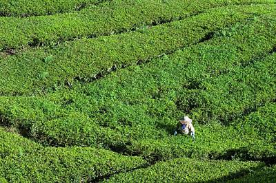 Worker On A Tea Plantation Print by Scubazoo
