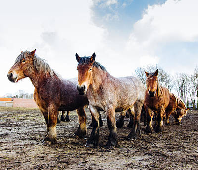 Belgian Draft Horse Photograph - Working Horses by Pati Photography