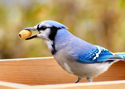 Blue Jay Photograph - Works For Peanuts by Jim Hughes