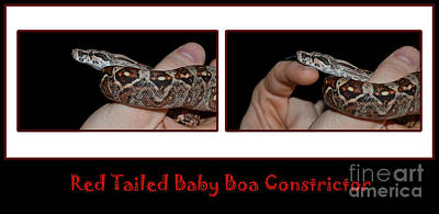 Boa Constrictor Digital Art - Wrapped Around My Fingers - Red Tailed Boa by Barbara Griffin