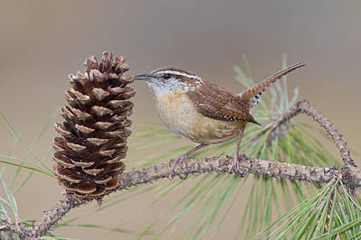 Wren In Pine Tree Print by Bonnie Barry