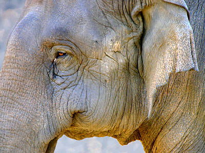 Elephant Photograph - Wrinkles by Sindi June Short