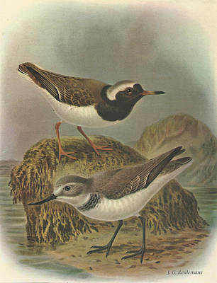 Plovers Painting - Wrybill And Shore Plover by J G Keulemans