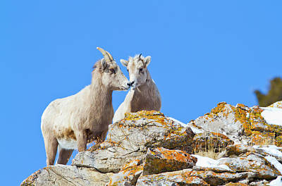 Big Horn Sheep Photograph - Wyoming, National Elk Refuge, Bighorn by Elizabeth Boehm