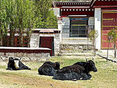 Yak Digital Art - Yaks On Grounds Of Sera Monastery In Lhasa-tibet  by Ruth Hager
