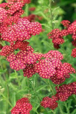Fanal Photograph - Yarrow (achillea 'fanal' ) Flowers by Adrian Thomas