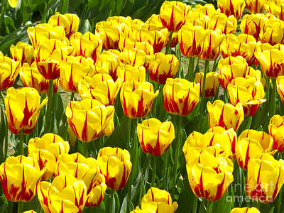 Spring Bulbs Photograph - Yellow And Red Tulips by Sharon Talson