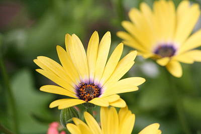 Yellow Beauty Print by Sue Chisholm