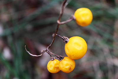Berries Photograph - Yellow Berries From The Early Winter Prairie Series by Verana Stark
