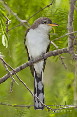 Yellow-billed Cuckoo Print by Anthony Mercieca