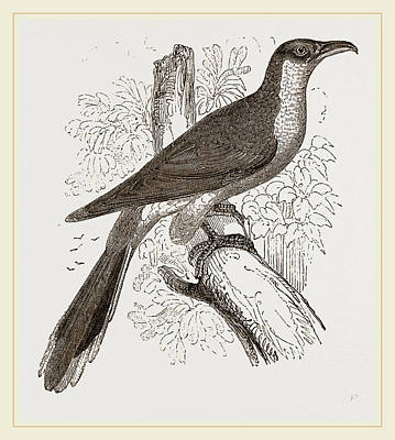 Cuckoo Drawing - Yellow-billed Cuckoo by Litz Collection