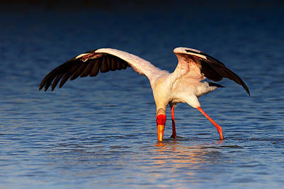 Yellow-billed Stork Hunting For Food Print by Johan Swanepoel