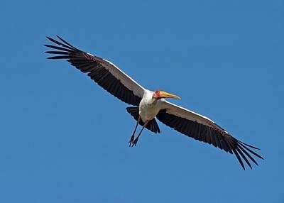 Birds In Flight Photograph - Yellow-billed Stork In Flight by Tony Camacho