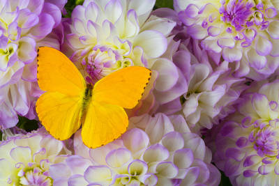 Springtime Photograph - Yellow Butterfly On Dahlias by Garry Gay