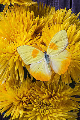 Chrysanthemums Photograph - Yellow Butterfly On Yellow Mums by Garry Gay