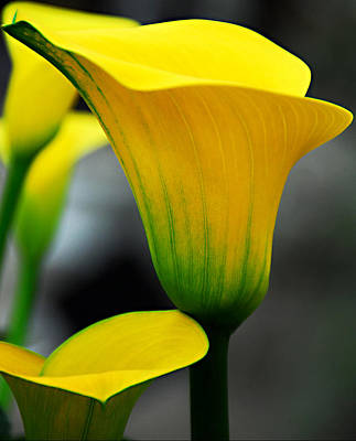 Yellow Calla Lily Print by JoAnn Lense